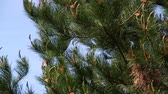 borovice : monarch butterflies in pine tree