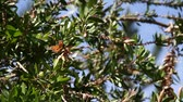 cam : monarch butterfly sits in branches Stok Video