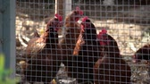 galinha : chickens in the chicken coop Stock Footage