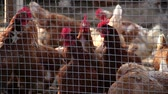 fokhagyma : chickens in chicken coop