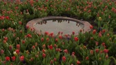 garden flowers : timelapse of tulips in birdbath