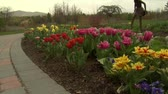 garden flowers : Jib up past tulips to ladies in park Stock Footage
