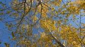 The autumn leaves of the aspen tremble in the wind on a clear day. A view from below on the trees. Vídeos
