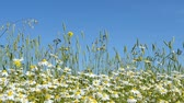 százszorszép : Chamomile flowers are heard in the wind on the field. A clear summer day.