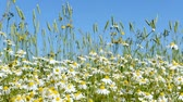 Chamomile flowers are heard in the wind on the field. A clear summer day.
