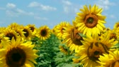 field : Sunflowers in full bloom dancing in the wind. HD 1080i.