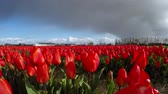 floral : Landscape with Red Tulips Against the Sky