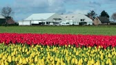 blooming : Farmhouse In A Sea Of Colorful Tulips