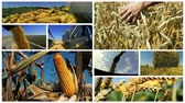 Maize and Wheat Harvest - Conceptual Video Animation
