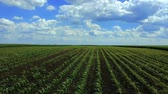 mısır tarlası : Field of Green Crops and Blue Cloudy Sky in a Sunny Spring Day