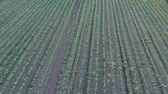 milharal : Drone Ascending Over Corn Field Stock Footage