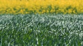 масличные культуры : Close up of Wheat and Canola Swaying in the Wind - Nature Background