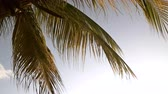 handheld : 4K video of a palm tree set against a blue sky on a calm day.