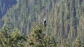 nobre : Eagle on a tree in Alaska Stock Footage
