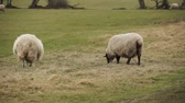 ovelha : sheep in New Zealand