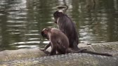 tailândia : Small Monkeys by the water Stock Footage