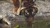 gatto : Tiger Drinking Water