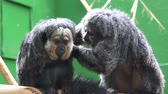 холеный : Two Howler Monkeys