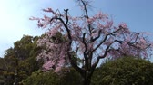 marcha : Cherry Blossoms in Japan