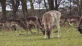 bucks : Deers eating