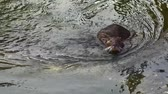 bóbr : Nutria (myocastor coypus, Beaver rat) washing face into the water of a creek