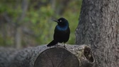 орнитология : Common Grackle (Quiscalus quiscula) sitting on a log. Flies toward camera. Стоковые видеозаписи