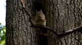 ardilla : A chipmunk sitting on a tree branch washes his face, head and front legs.