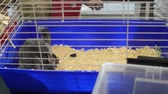 rat noir : HD saut rapide Chinchilla cage