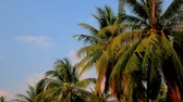 astarlı : 3 in 1 video. Palm trees blowing in the wind