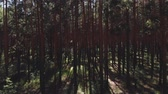 drone point of view : Flying passing by pine trees. point of view, drone view of talla forest pine trees at sunset in summer