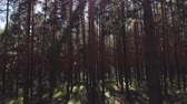 magický : Flying passing by pine trees. point of view, drone view of talla forest pine trees at sunset in summer