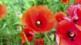coming in : bee flies around the flower red poppy