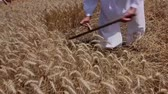 haymaking : Farmer is cutting wheat. Farmer is reaping wheat manually with a scythe in the traditional rural way.