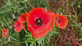 coming in : Bee on red poppy flower, pollination. Bees flying on a red poppy flower, gathering pollen, pollination.