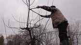 cut off : Gardener is climbed on ladders and he cutting branches, pruning fruit trees with long shears in the orchard. Stock Footage
