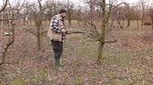 cut off : Gardener is cutting branches, pruning fruit trees with long shears in the orchard Farmer is pruning branches of fruit trees in orchard using long loppers at early springtime.