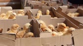 pintos : Many crazy small chicks are crowded in cardboard box, jump up. Baby chicken, small and very beautiful yellow chicks are placed in cardboard box, poultry industry.