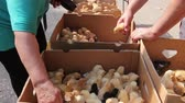 separates : Hands are grabbing baby chick, small and very beautiful colorful chicks are placed in cardboard box, poultry industry. Stock Footage