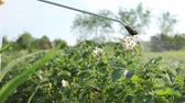 pesticide : Farmer sprays inflorescence potatoes plants to protect them with chemicals from fungal disease or vermin with manually sprayer in his garden.