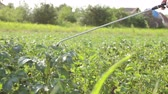 fertilizer field : Farmer sprays inflorescence potatoes plants to protect them with chemicals from fungal disease or vermin with manually sprayer in his garden.