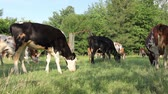 bezerra : Bloodstock cows are grazing grass, on pastures, meadow. Herd of domestic bloodstock cows are grazing grass in rural village. Vídeos