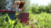Elderly woman apiarist, beekeeper is working in apiary. Barehanded senior woman, Beekeeper, is control situation in bee colony. Wideo