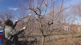 afiada : Farmer is pruning branches of fruit trees in orchard using long loppers at early springtime. Photo - JPEG video codec