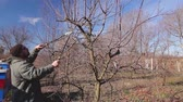 afiada : Farmer is pruning branches of fruit trees in orchard using long loppers at early springtime. H.264 video codec