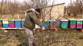 buda : Farmer is pruning branches of fruit trees in orchard using loppers at early springtime cloudy day