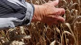 수분 : Grandma is caressing dry wheat ears. Granny is passing with her palm gently over, through mature wheat. Photo - JPEG video codec