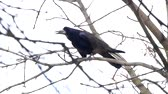 havran : Common Raven On the Branch