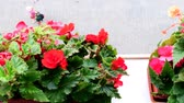 Begonias in flower box. View on flower box on windowsill.
