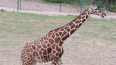 Reticulated Giraffe. Geographic Range: arid and dry-savannah zones of sub-Saharan Africa.