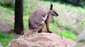 black footed : Yellow-footed Rock-wallaby. Geographic Range: southern and central Australia.